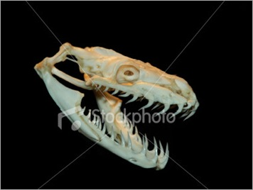 ist2_371885-python-skull1